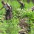 60 Ribu Batang Ganja di 6 Titik Ladang Aceh Besar Dimusnahkan
