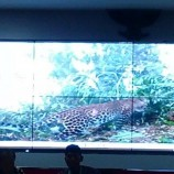 YKAN Mencatat Ada 13 Ekor Macan Tutul Berada di Hutan Gunung Muria