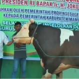 Setelah Tiba Di Mamuju, Sapi Kurban Jokowi Diperiksa Dahulu